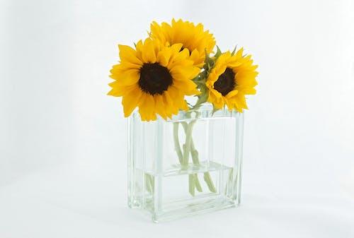 Fotos de stock gratuitas de amarillo, florero, flores, girasoles