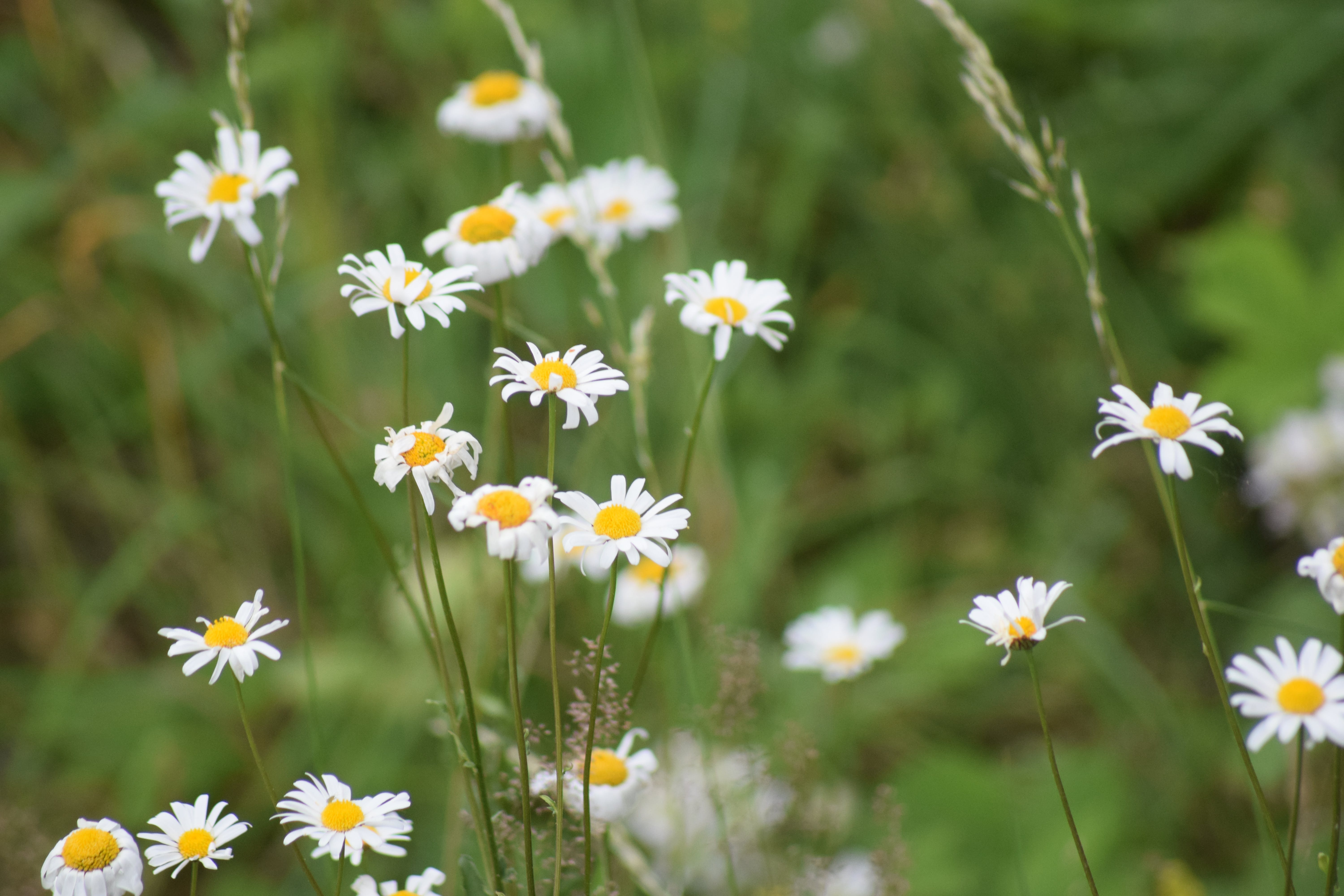 Free stock photo of daisies, daisy, flowers, green