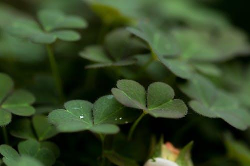 Free stock photo of clover, garden plant, green, shamrock