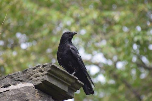 Free stock photo of black bird, crow, eerie