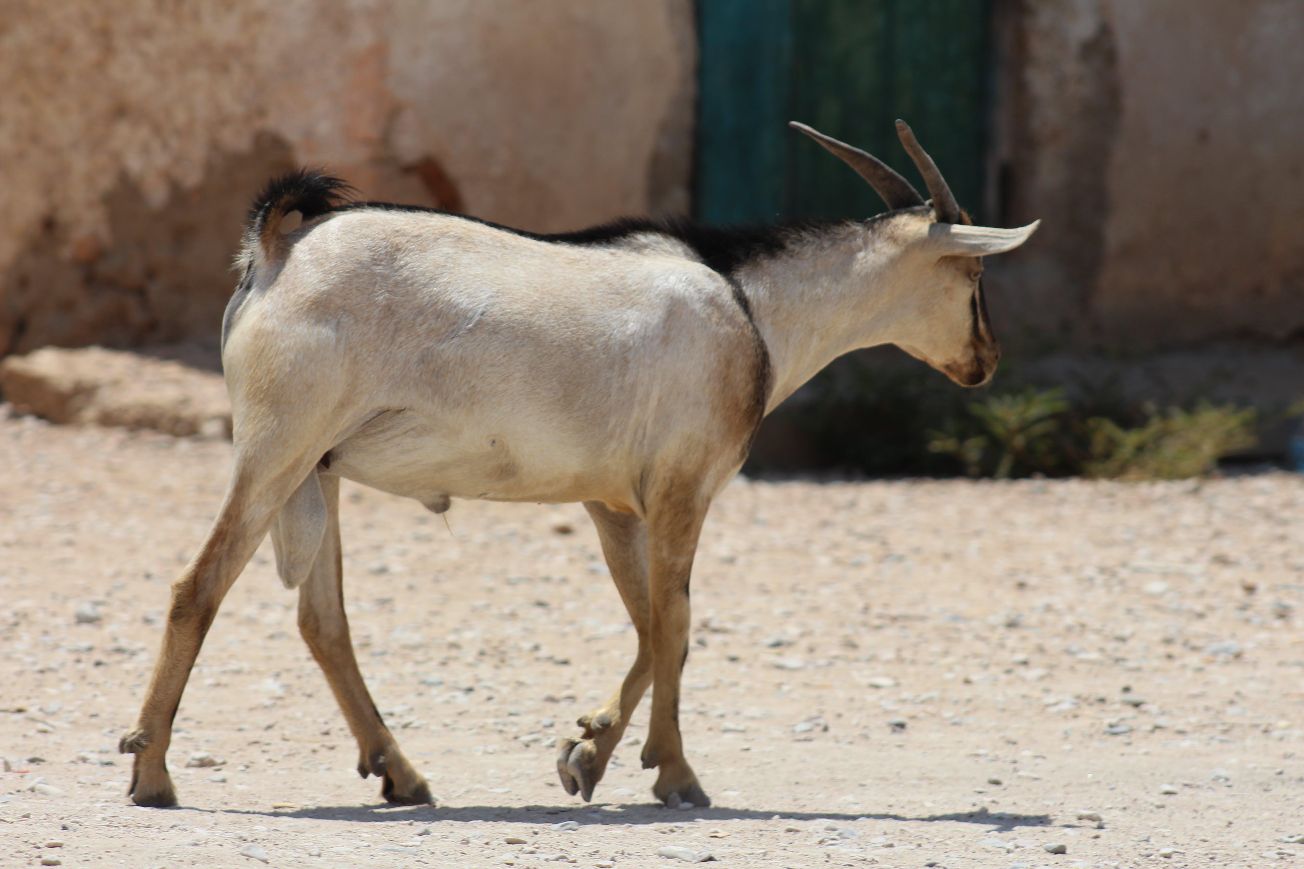 Free stock photo of goat, ri, somali goat