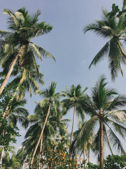 Ảnh lưu trữ miễn phí về cây dừa, dừa