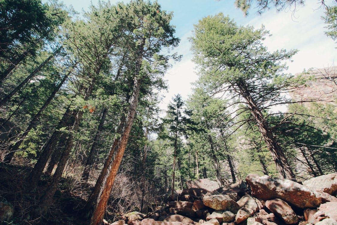 acampant, arbre, arbres