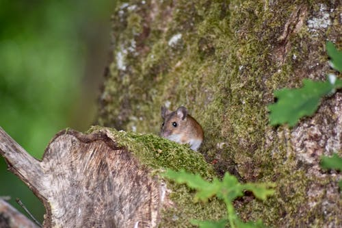 Free stock photo of animal, British wildlife, Field mouse, forest