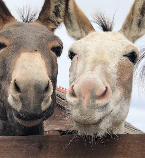 Free stock photo of animal photography, donkey, donkeys
