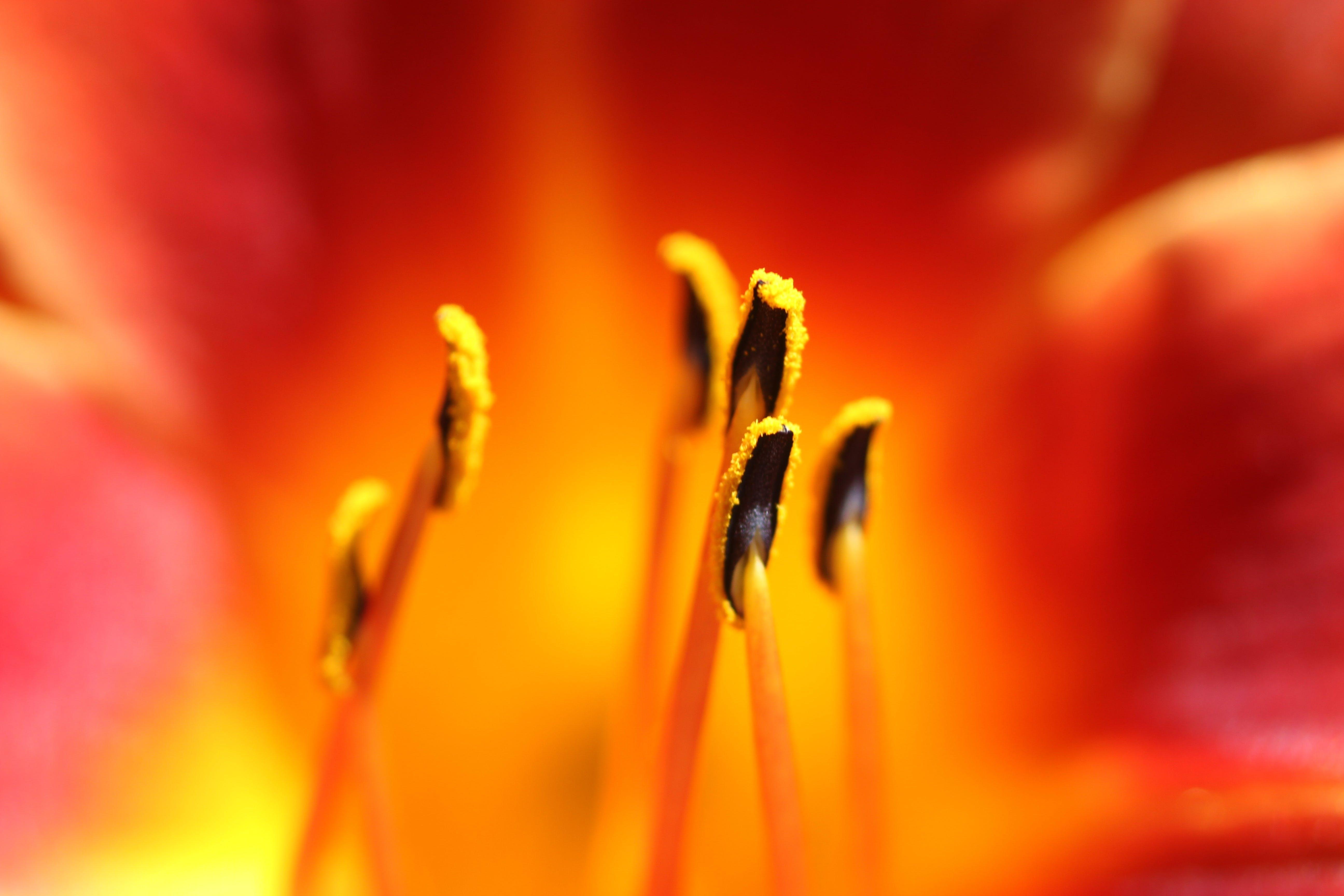 estambre, flor, flora