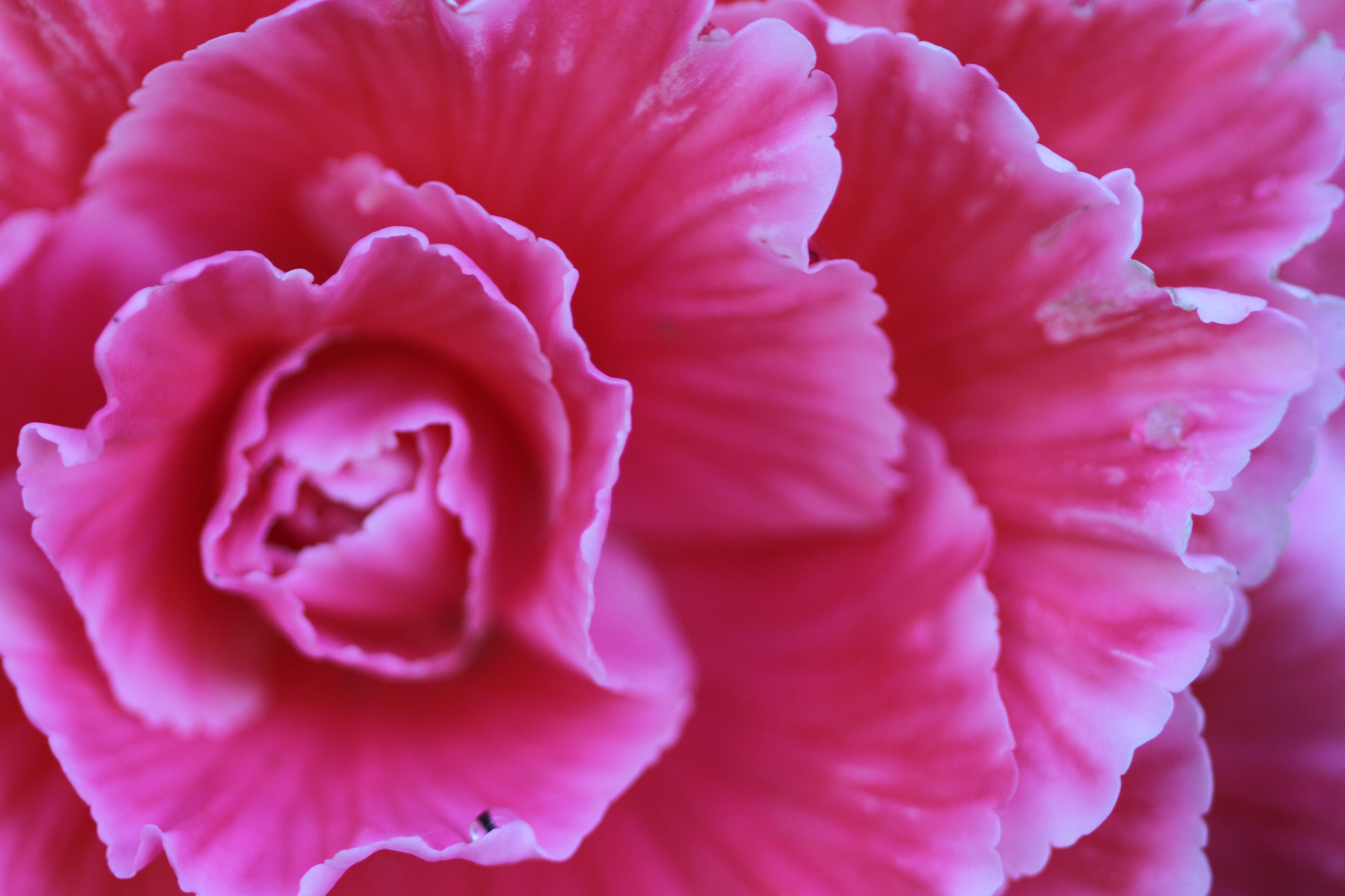 Closeup Photography Of Pink Carnation Flower