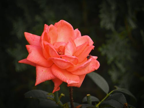 玫瑰, 紅玫瑰, 美麗的花朵, 花 的 免費圖庫相片