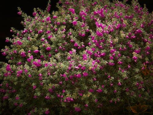 園林花卉, 玫瑰, 粉紅色的花, 紫羅蘭 的 免費圖庫相片