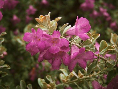 Foto d'estoc gratuïta de flor, flor rosa, flors boniques, flors roses
