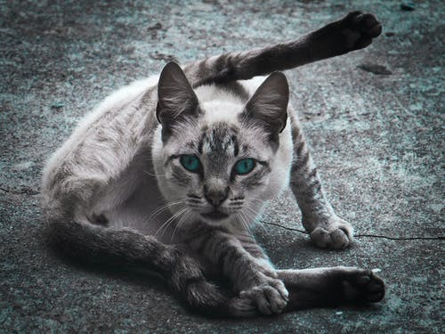Foto d'estoc gratuïta de animal, animal domèstic, animals domèstics, cara de gat