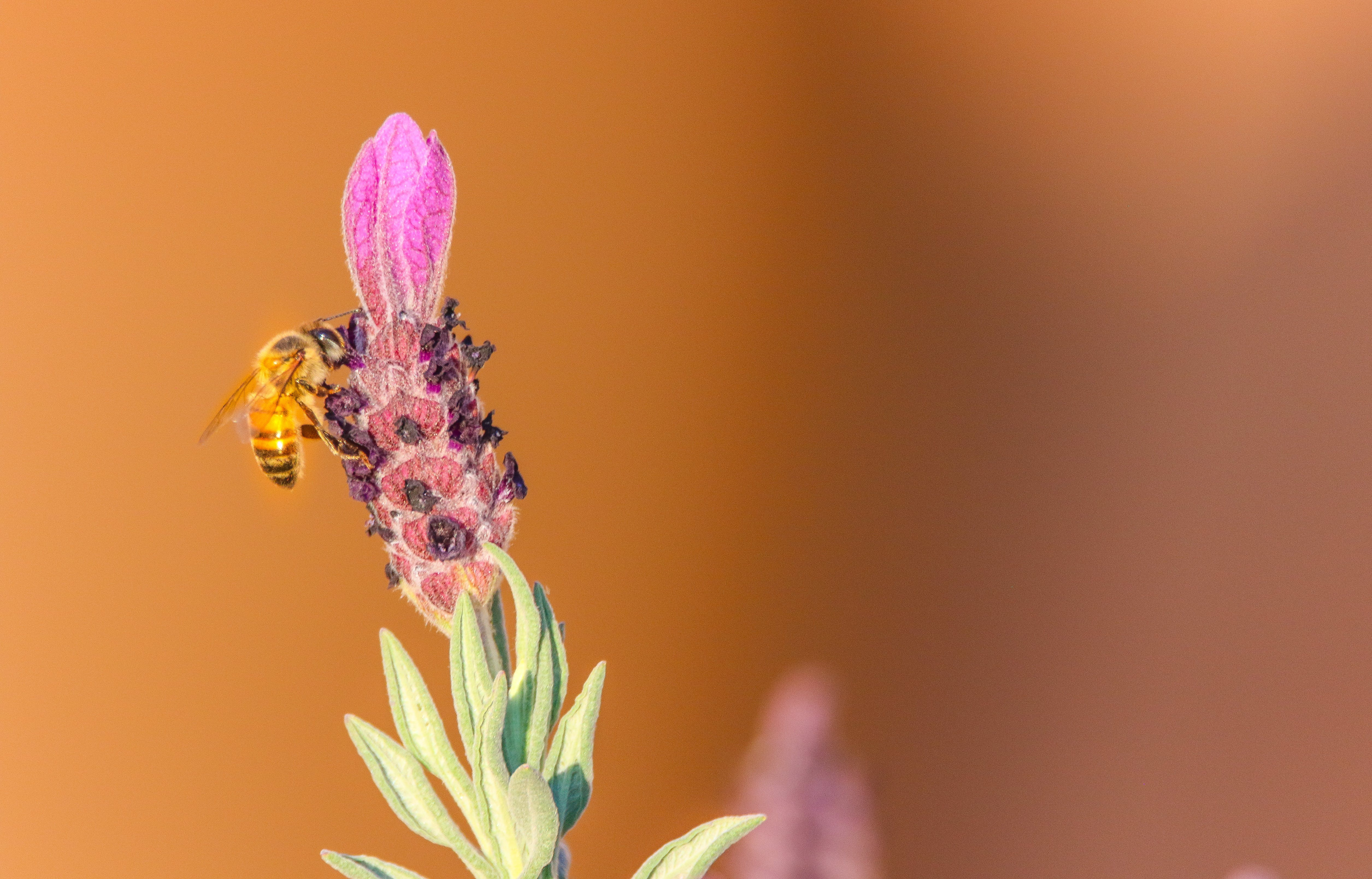 Selective Focus Photography Of Honeybee Perched On Purple Flower Bud