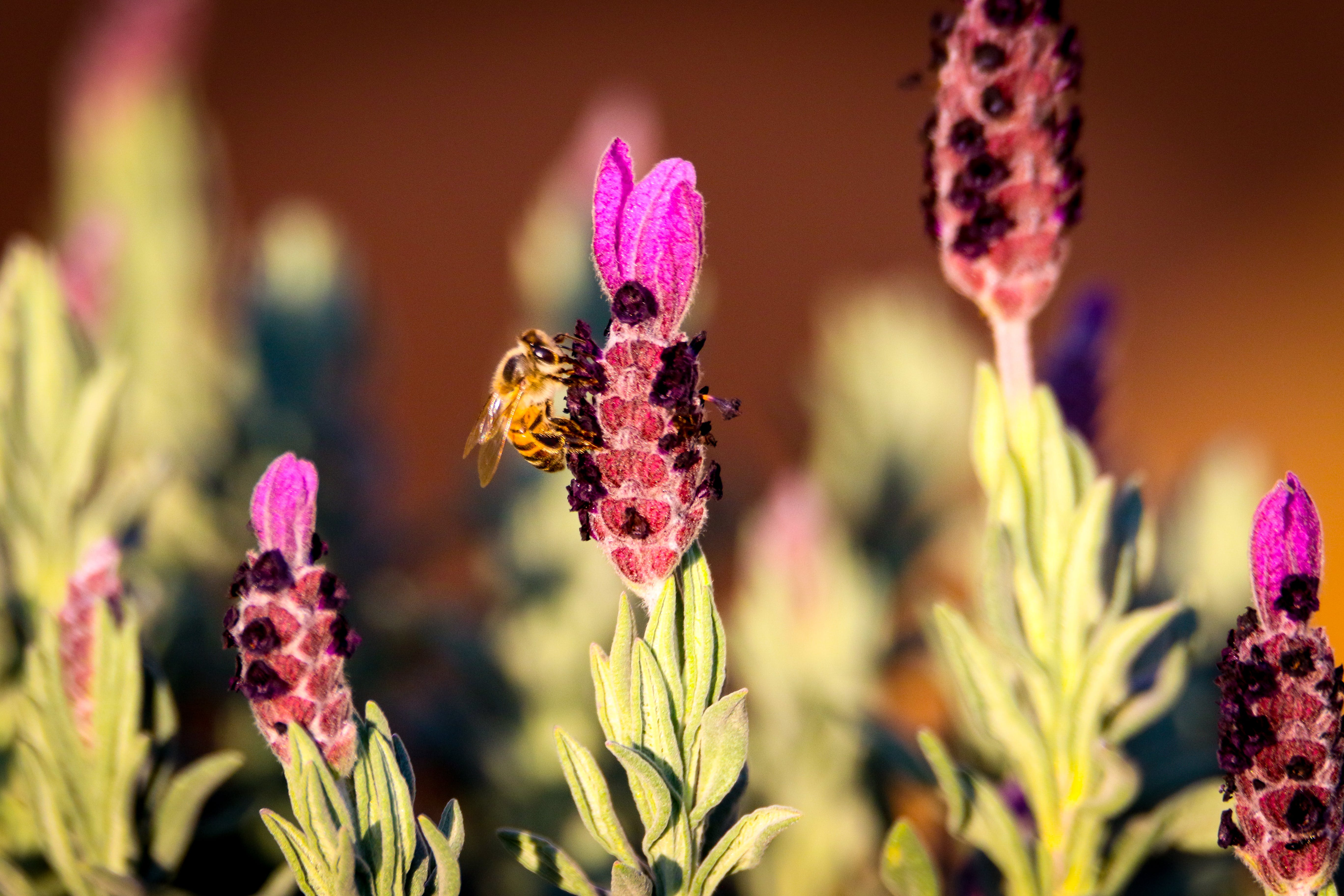 Free stock photo of nature, flowers, bee, fly