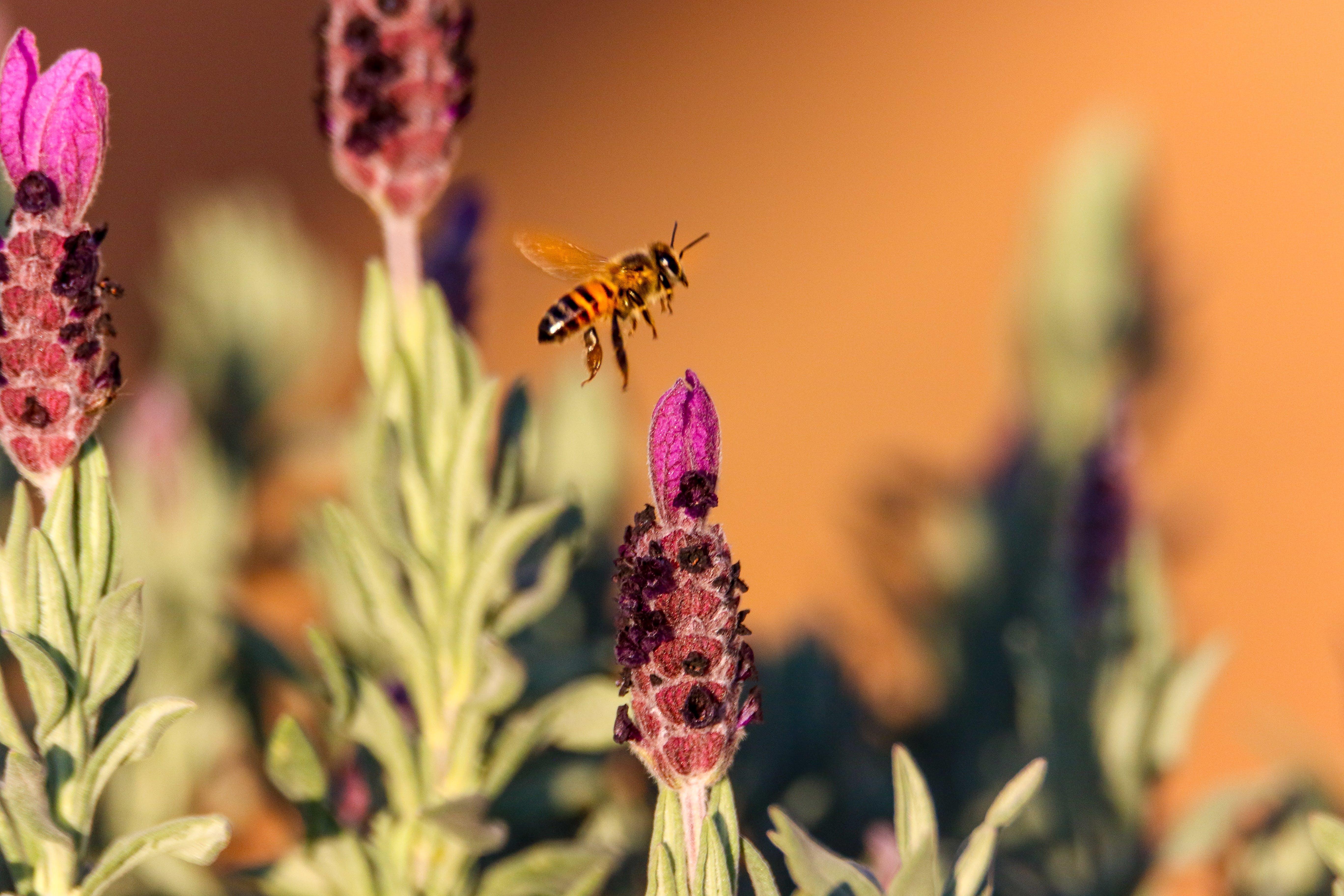 Brown Honeybee Flying on Pink Flower