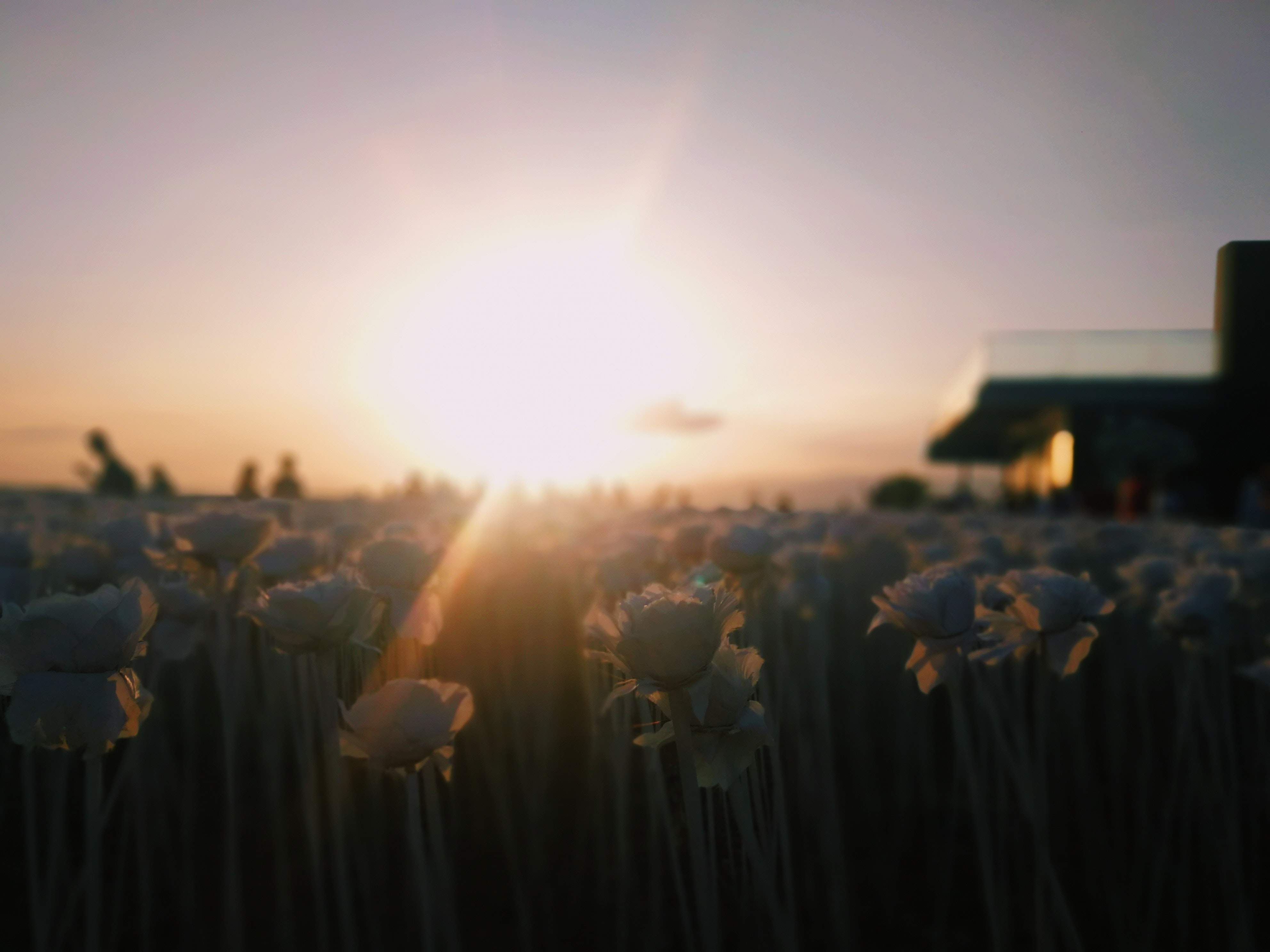 Free stock photo of dusk, field, roses