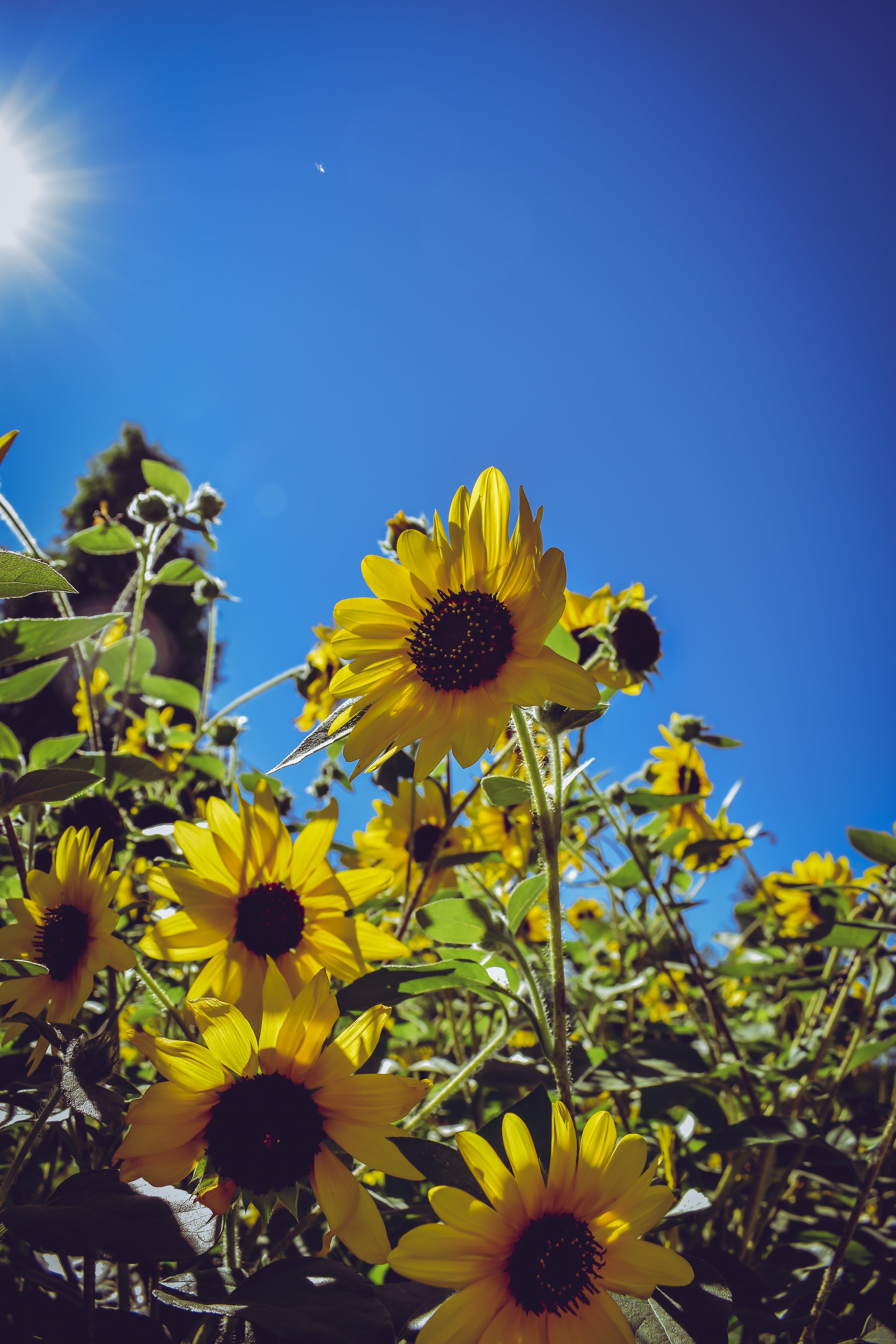 Free stock photo of blue, nature, outdoor, sunflower