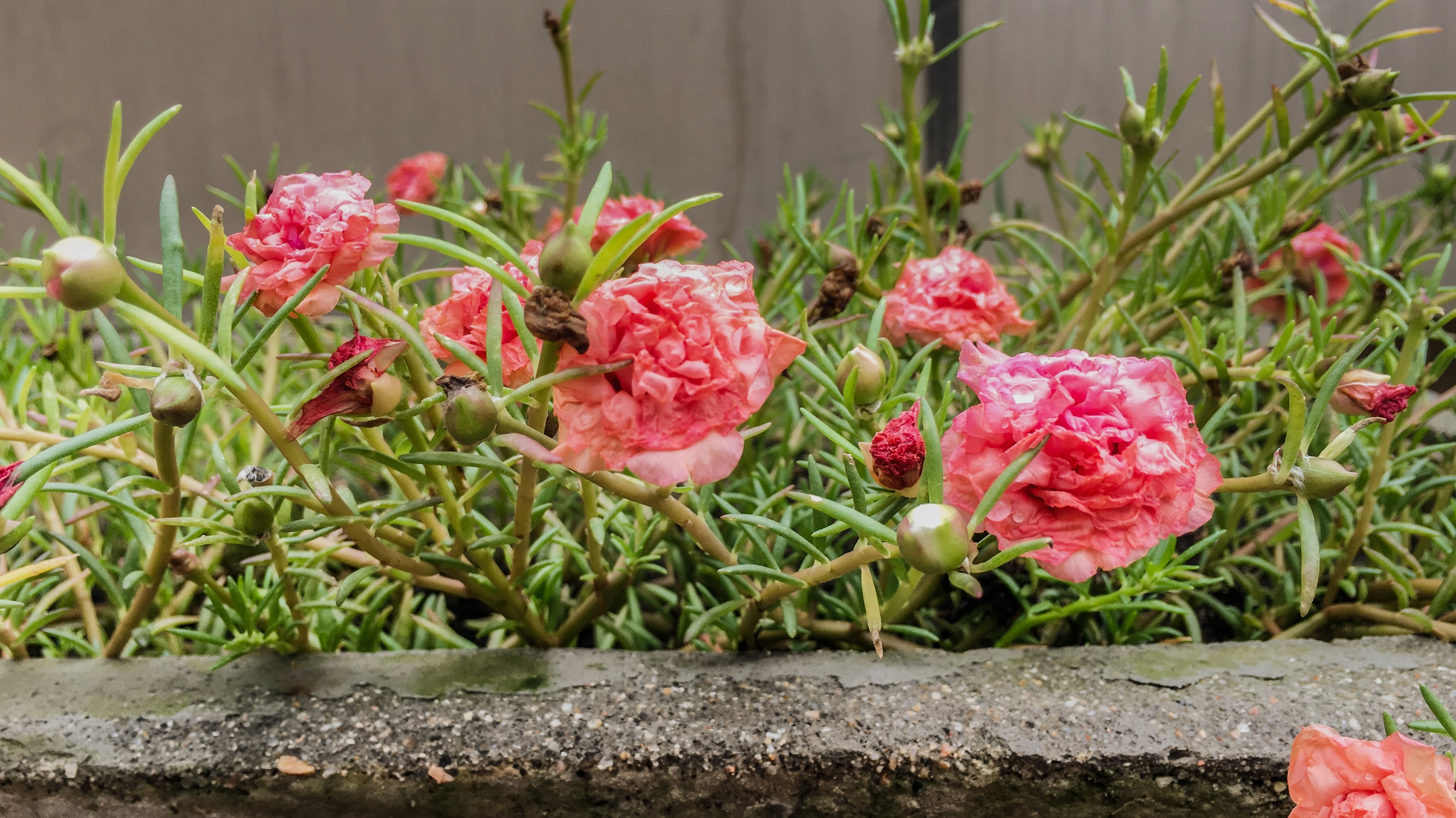 Free stock photo of after the rain, beautiful flowers, floral, garden