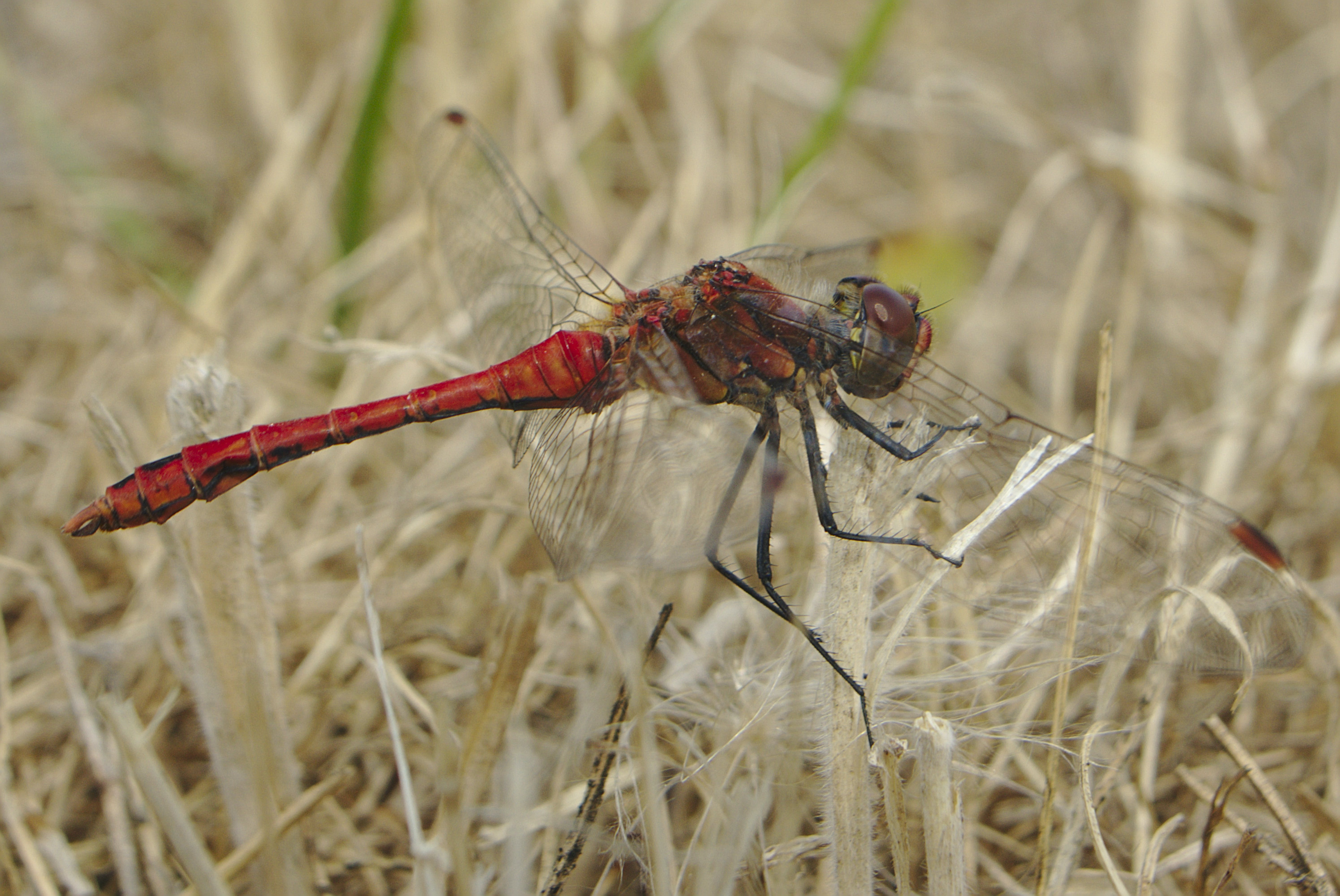 Red Dragonfly Perching on Beige Grass