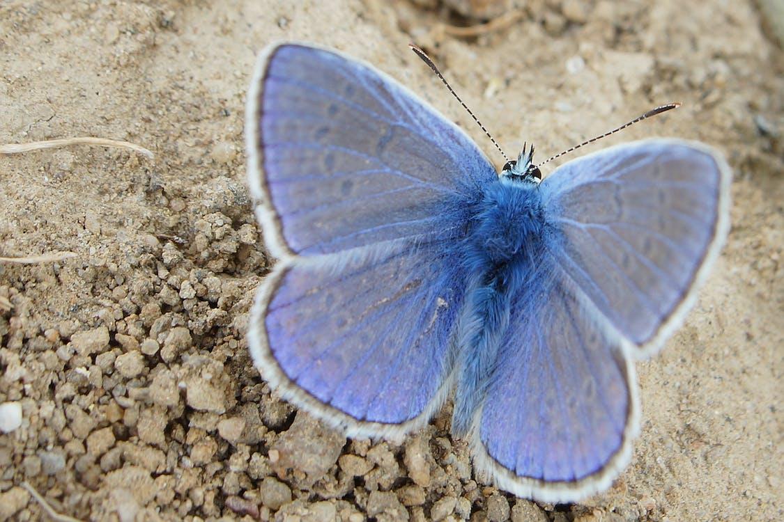 Common Blue Butterfly Perching on Beige Soil