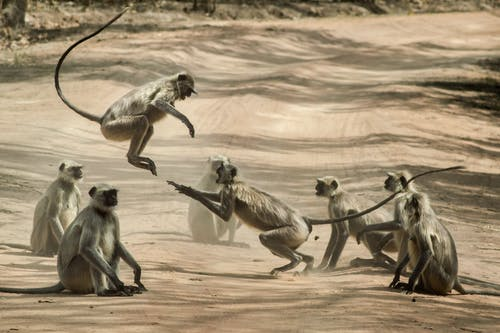 Group of Monkey on Dirt Road