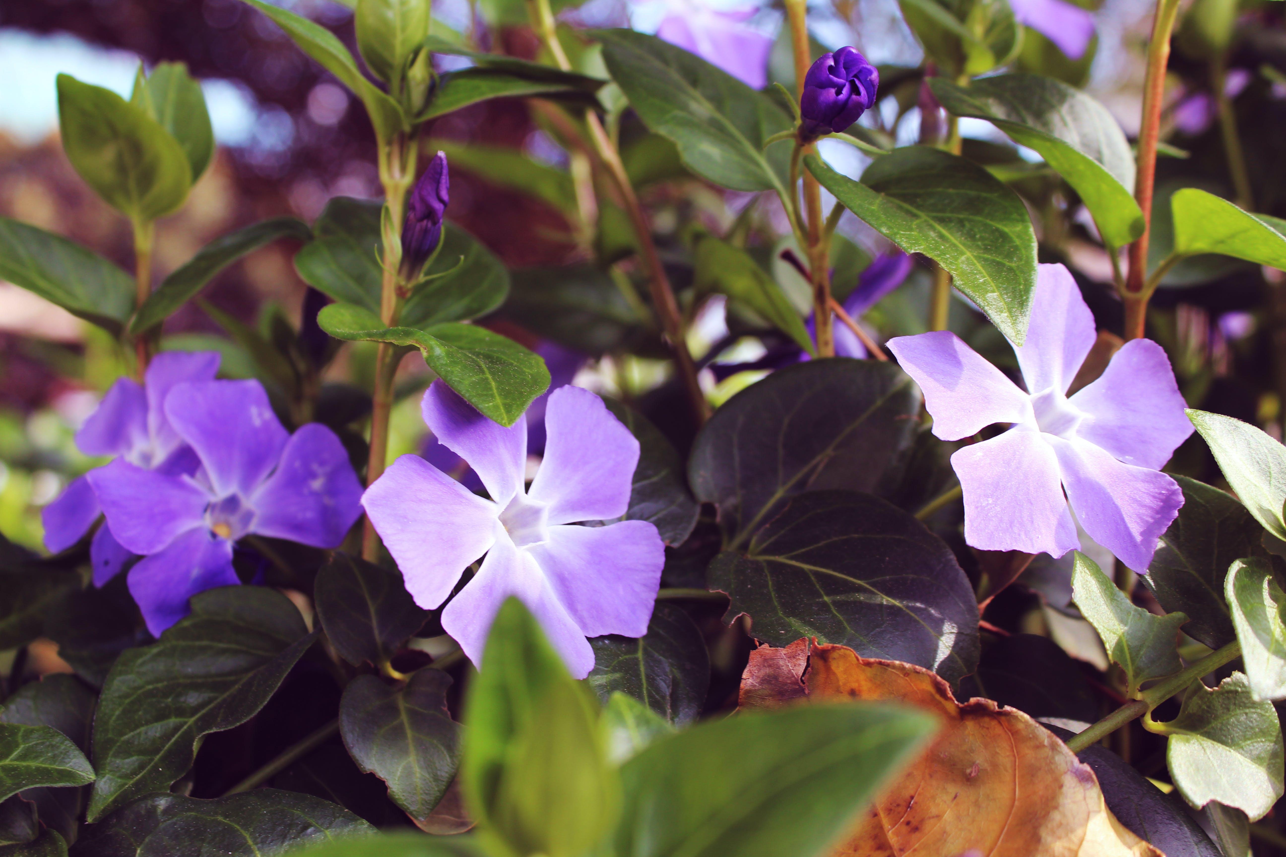 Free stock photo of flower, flowers, purple, purple flowers