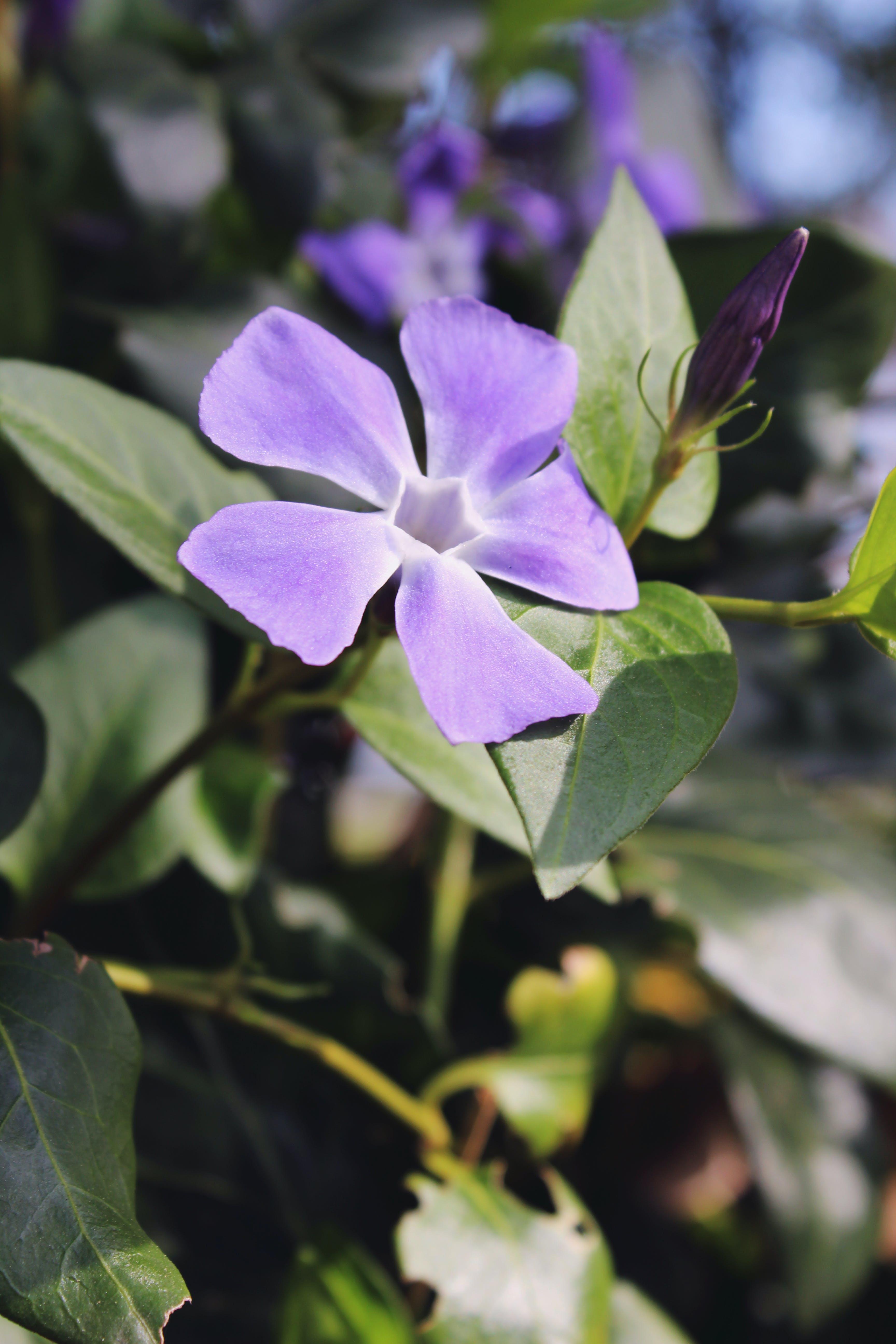 Free stock photo of flower, purple, purple flower