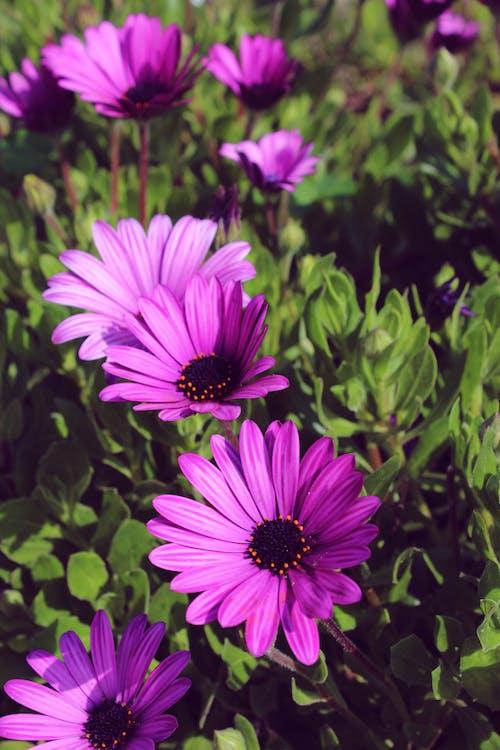 Kostnadsfri bild av blomma, blommor, lila, lila blomma