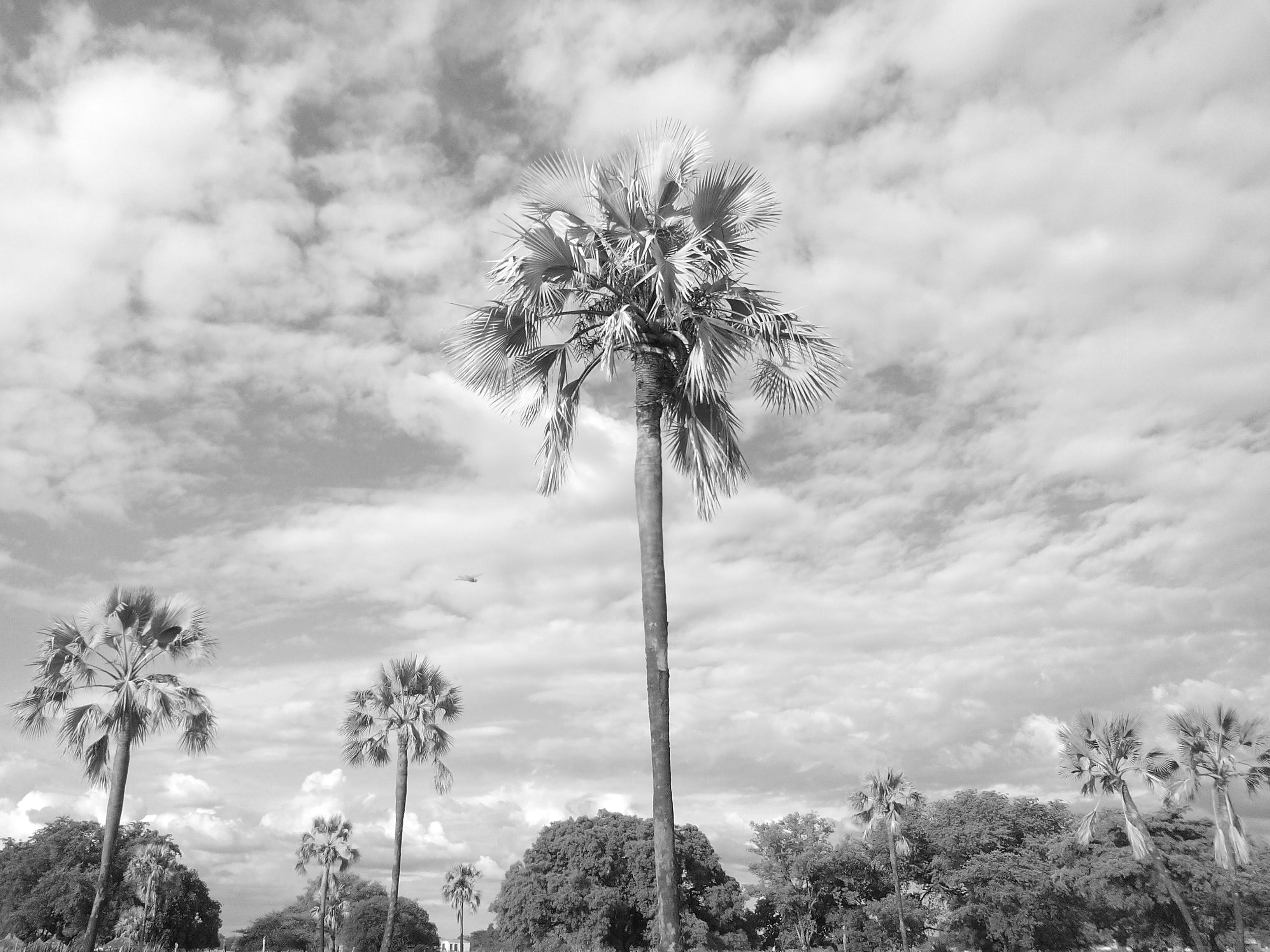Free stock photo of African Palm trees