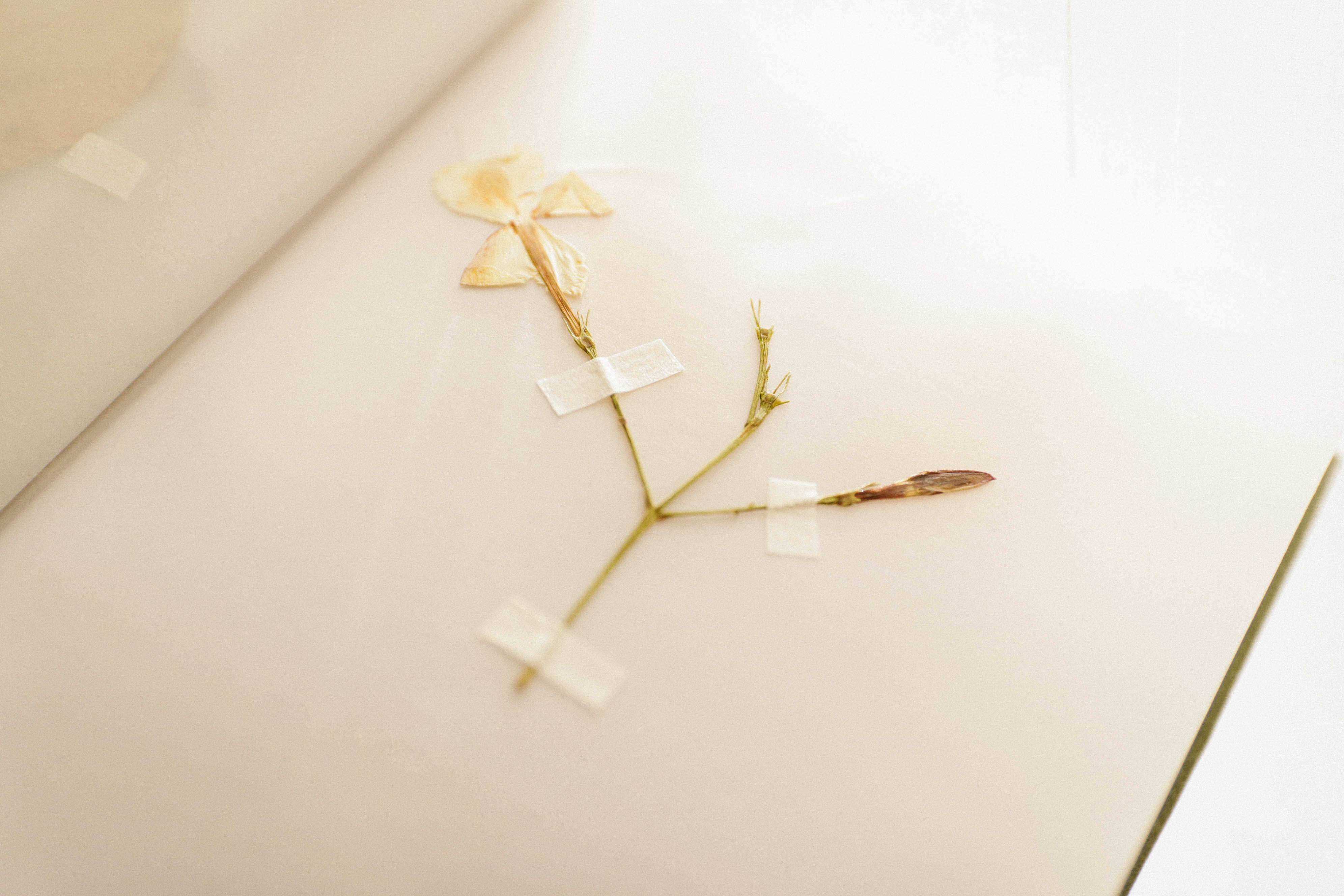 Dried White Flower Taped in Book