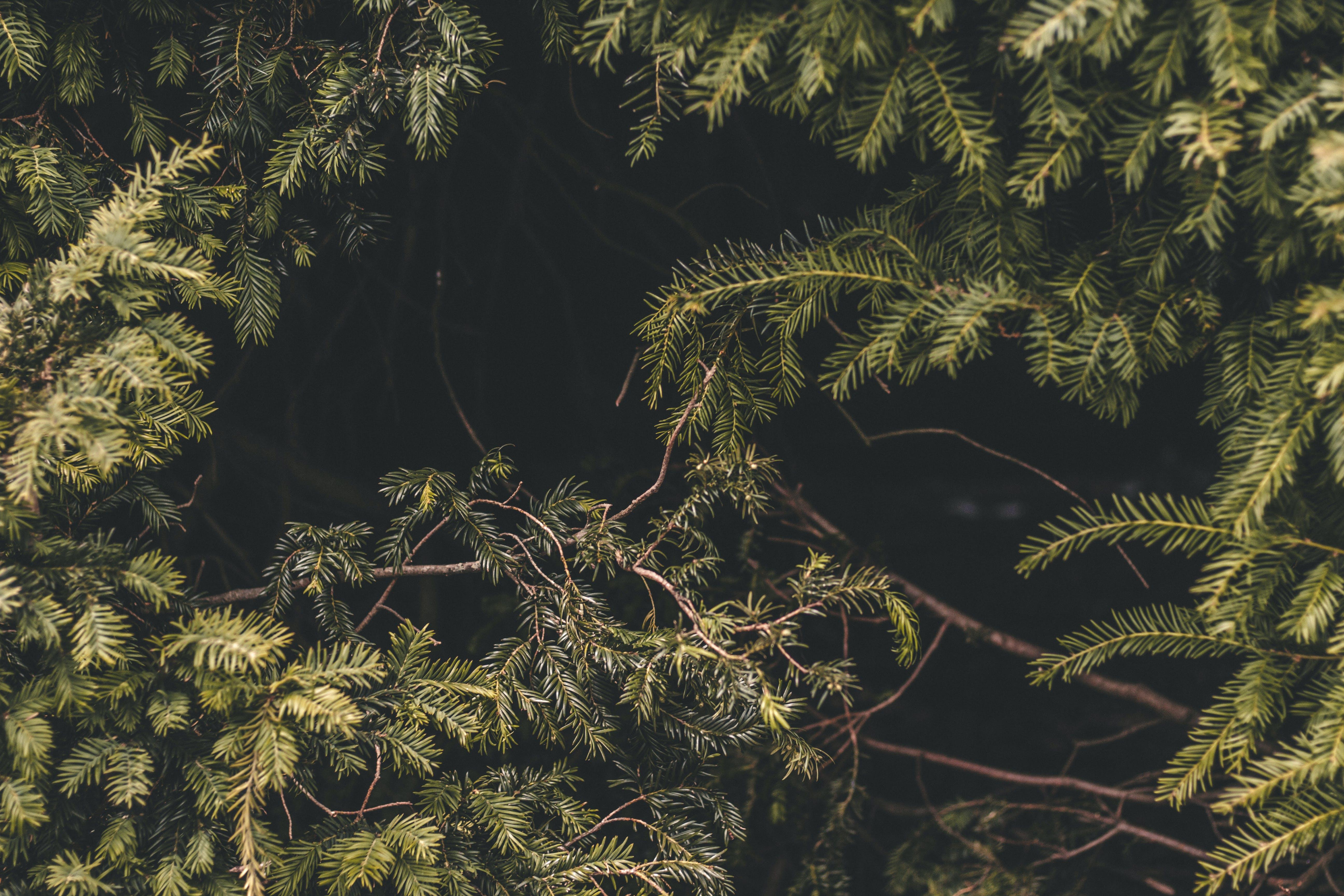 Foto stok gratis hijau, konifer, merapatkan, pohon