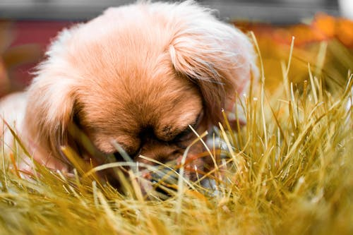 Brown Tibetan Spaniel Puppy Laying Down on Grass