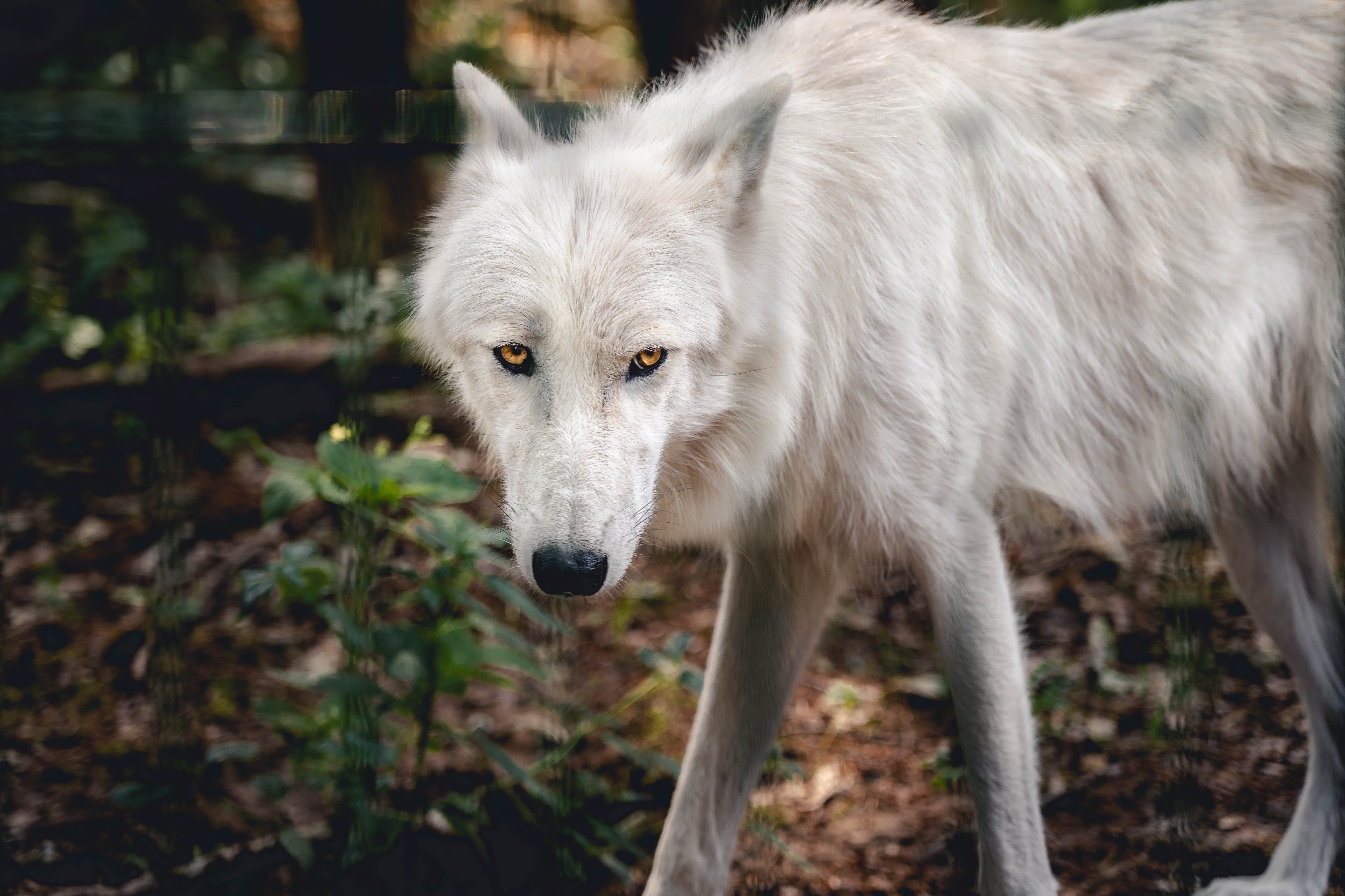 Close-Up Photo of White Wolf in the Forest