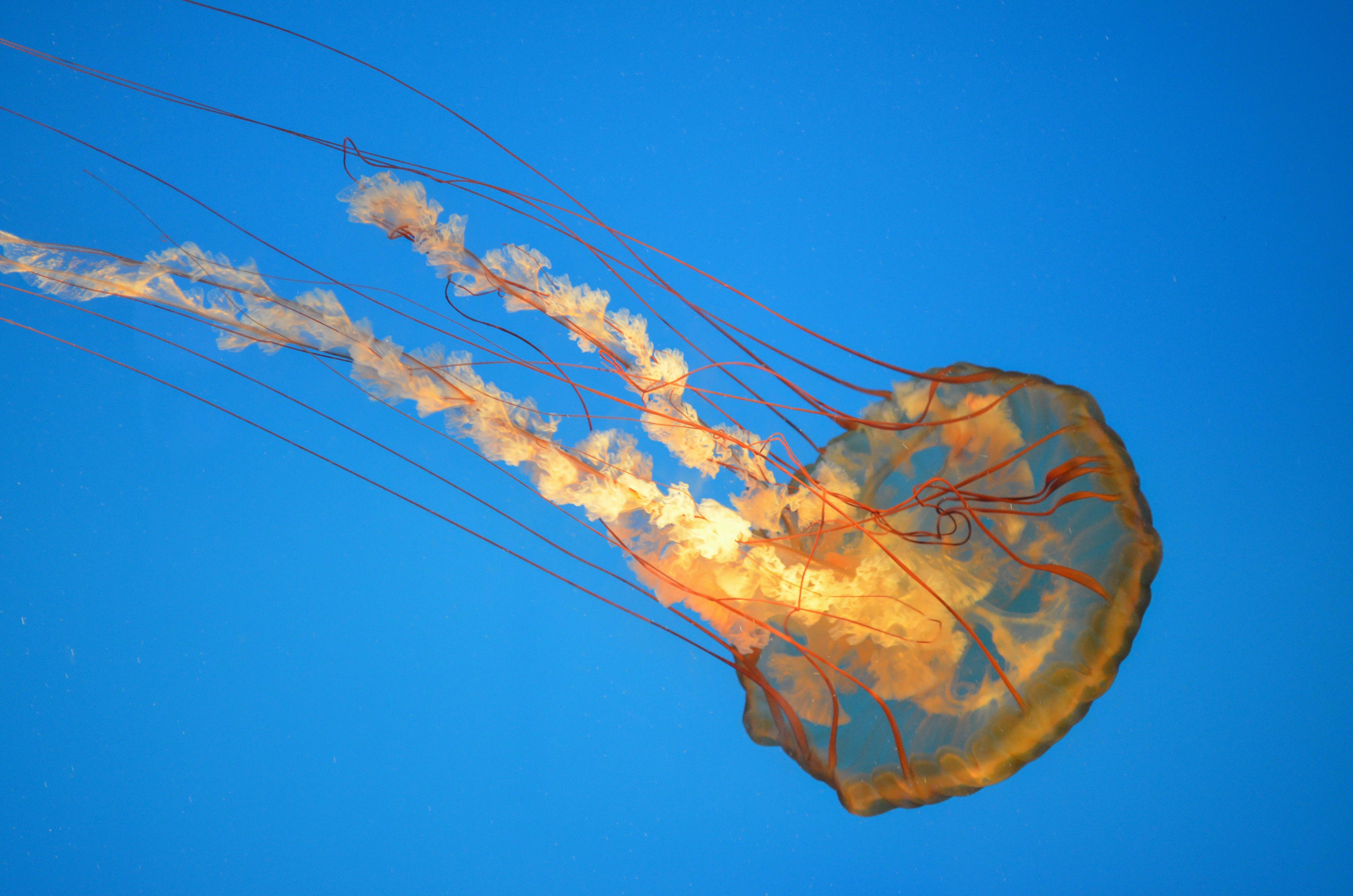 Free stock photo of jellyfish