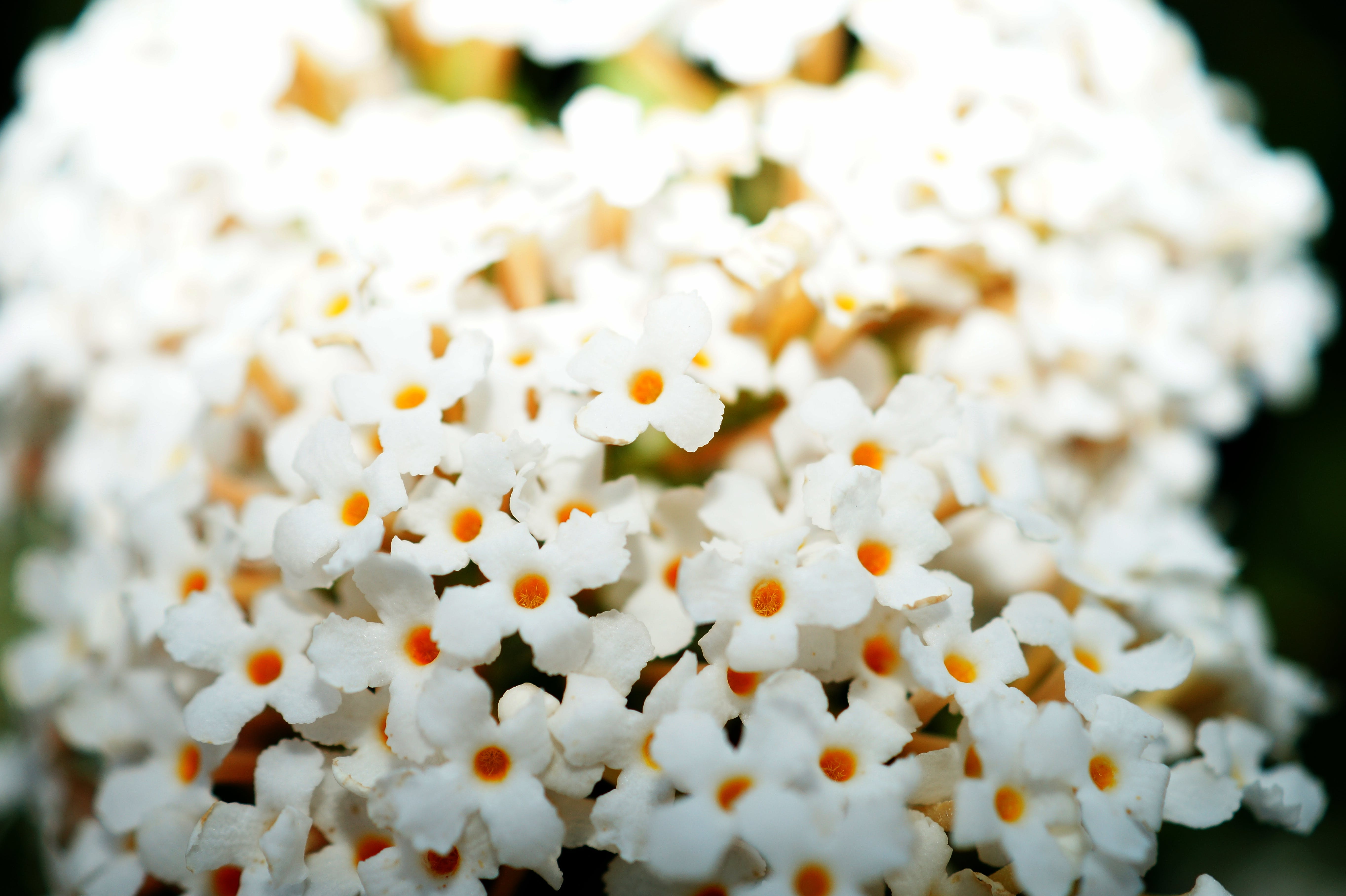 Free stock photo of flowers, macro photography, white