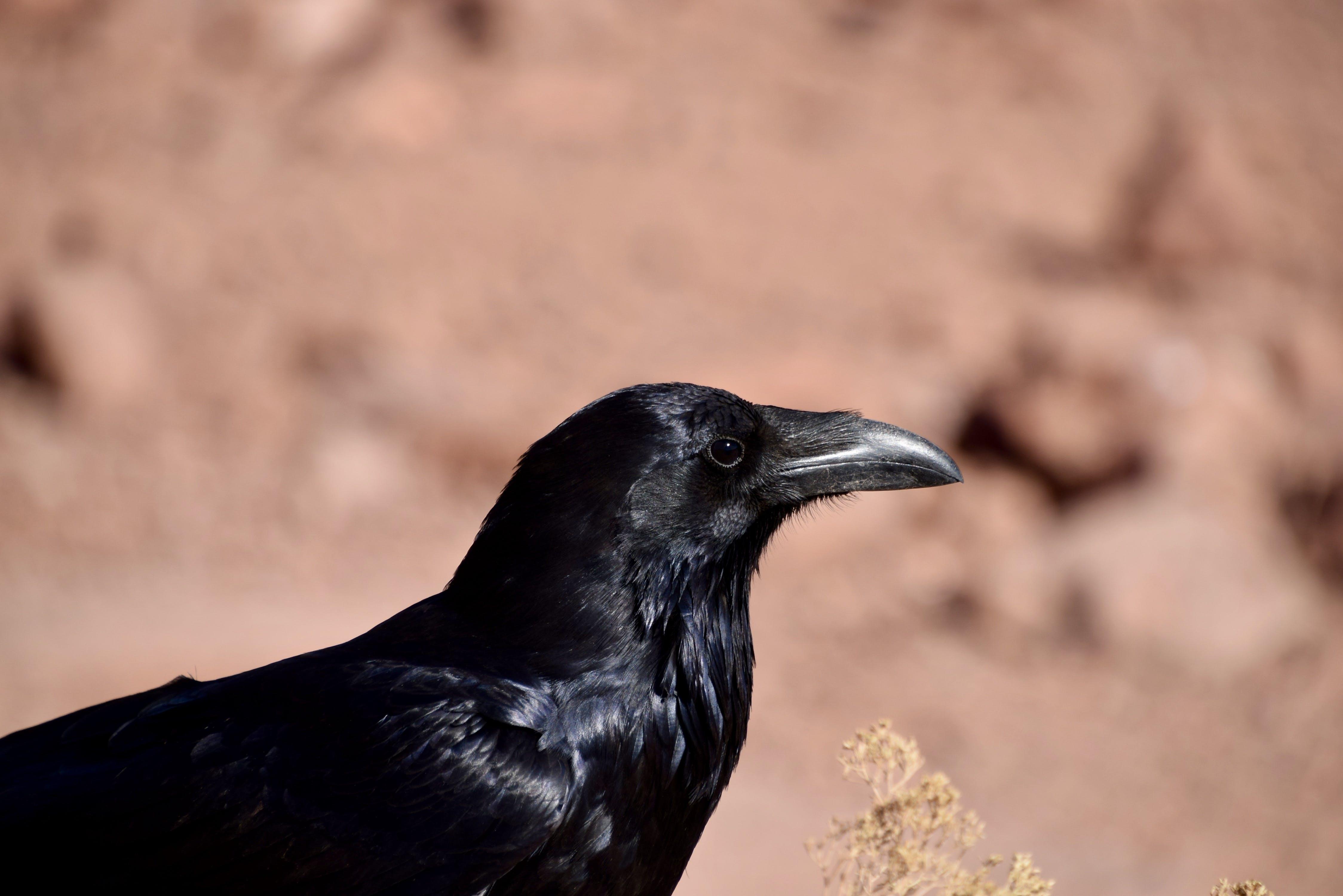 Free stock photo of bird, black, watching, raven