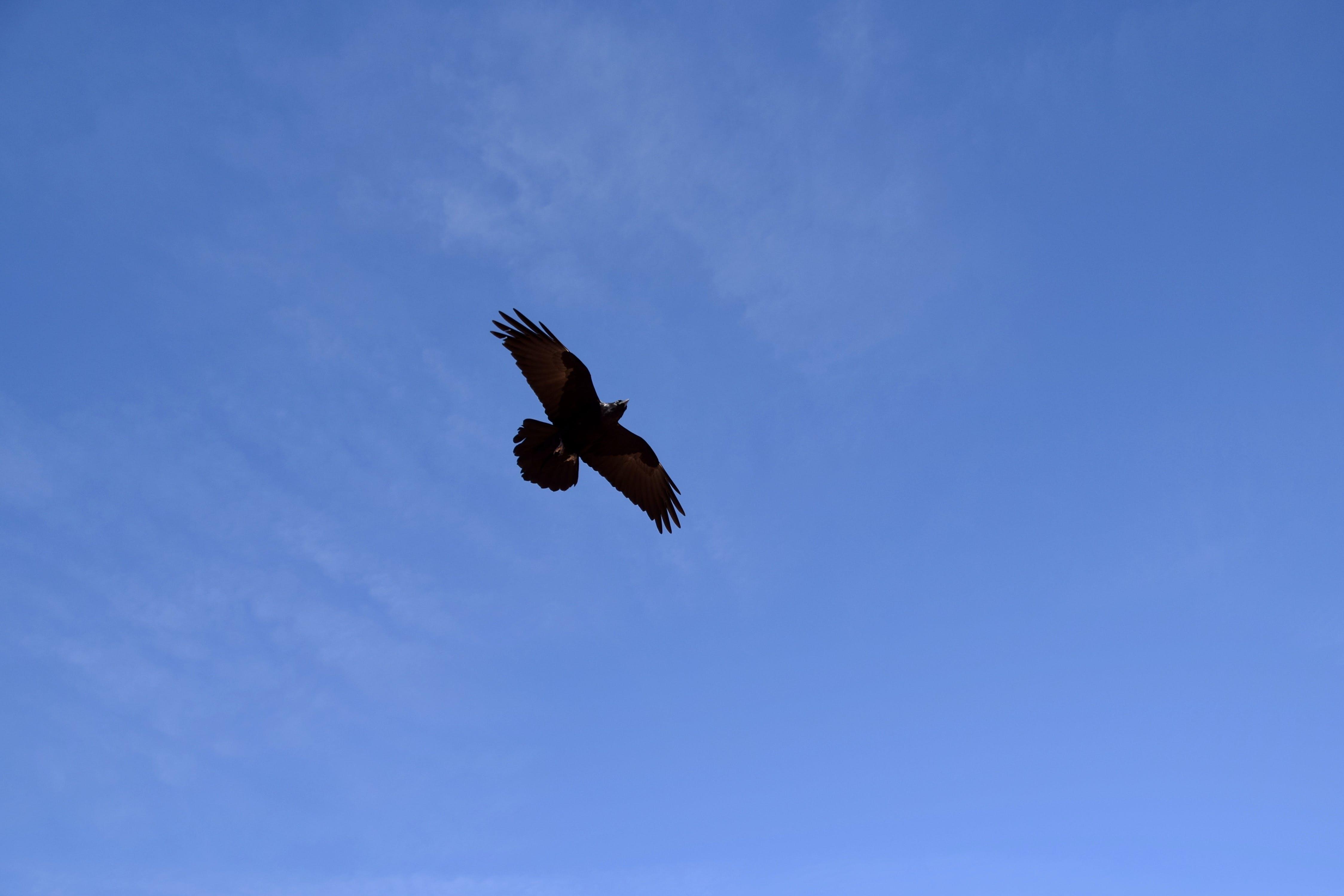 Free stock photo of sky, bird, clouds, black