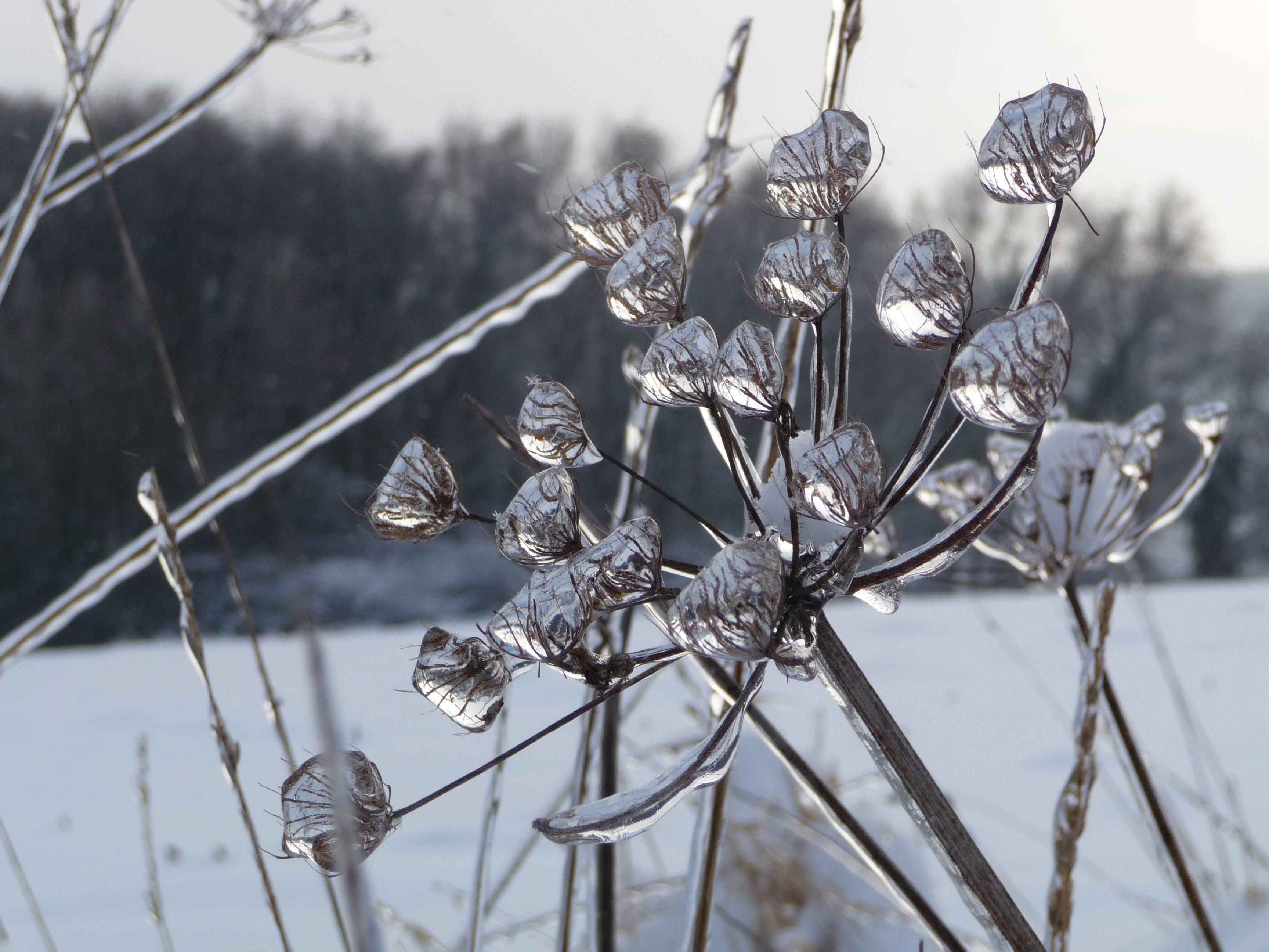 Free stock photo of corolla, drops, ice, winter wonderland