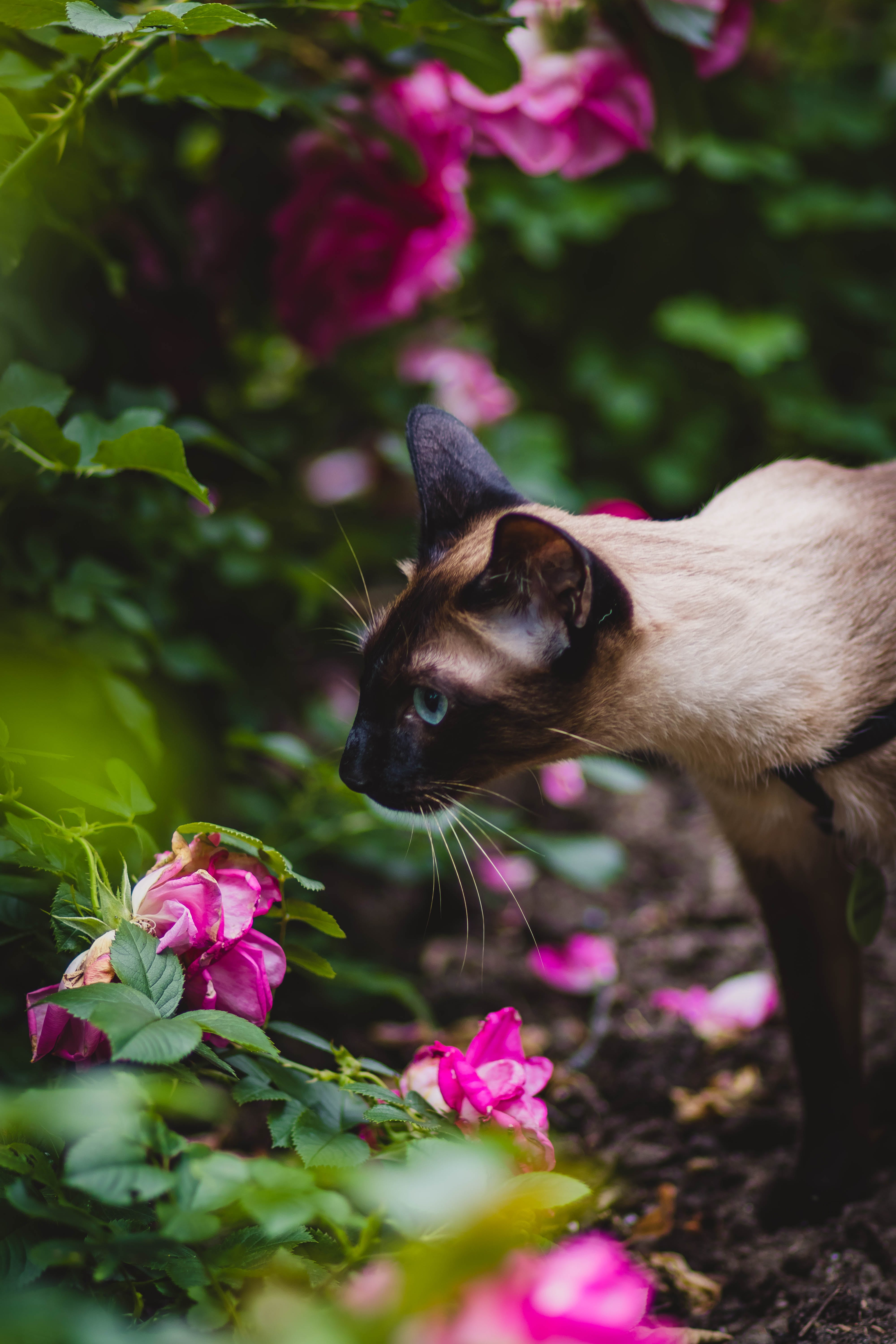 Brown and Black Siamese Cat Near Flower