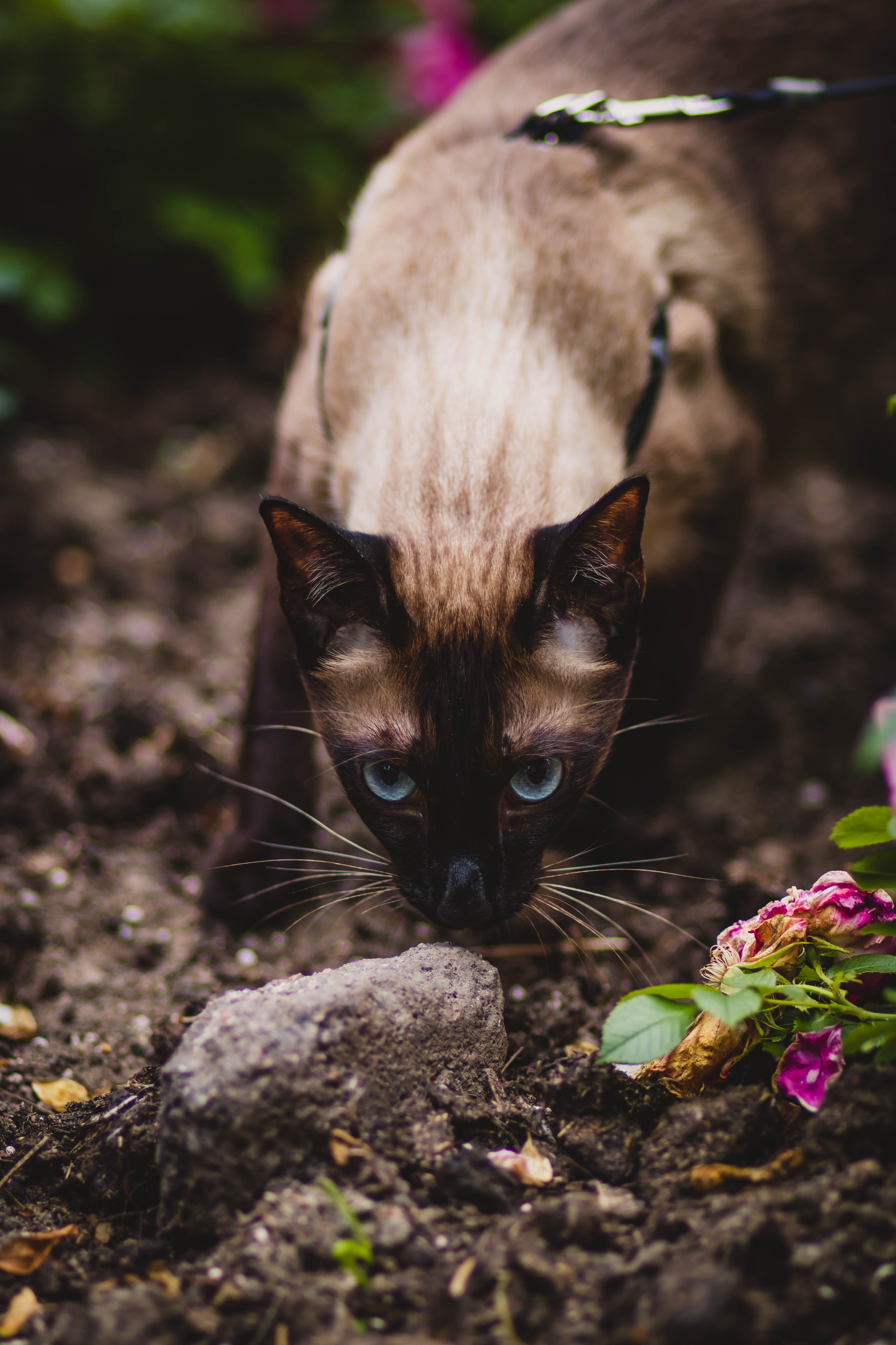 Shallow Focus Photography of Siamese Cat Smelling Gray Stone