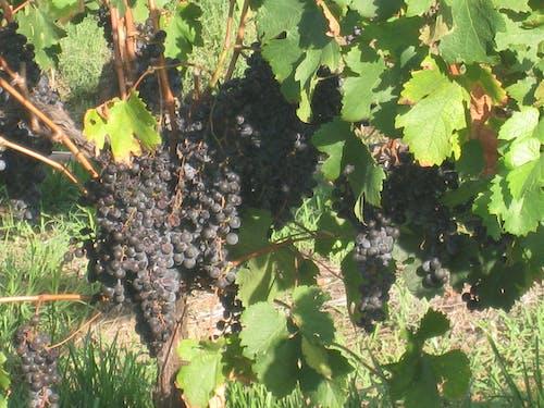 Fotos de stock gratuitas de uvas, uvas de vino