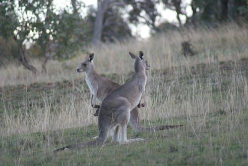 Fotos de stock gratuitas de animal, Australia, canguro