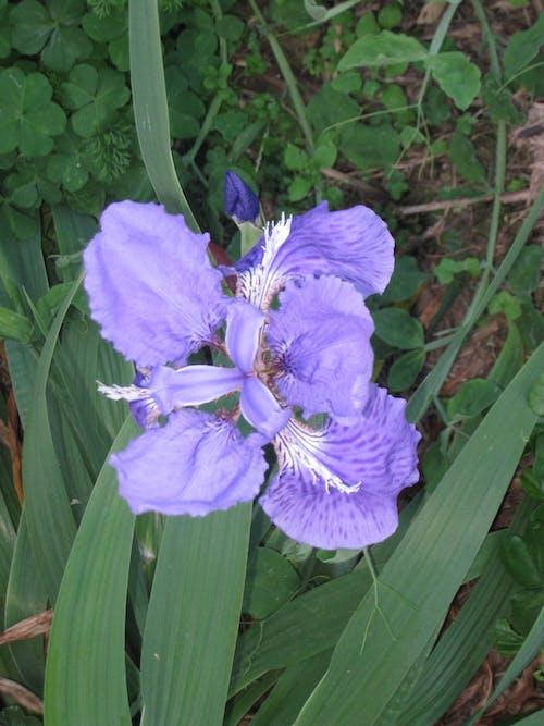 Fotos de stock gratuitas de flor, flor lila, flor morada
