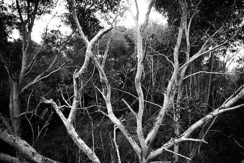 Ingyenes stockfotó faágak, fák, fekete-fehér, fényes témában