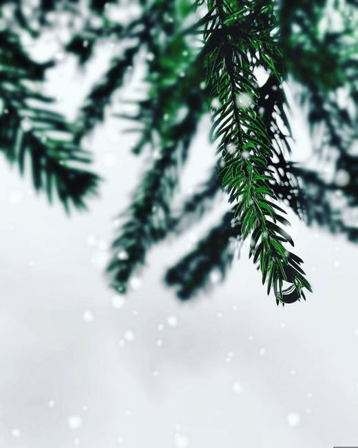 Selective color photography of pine leaf