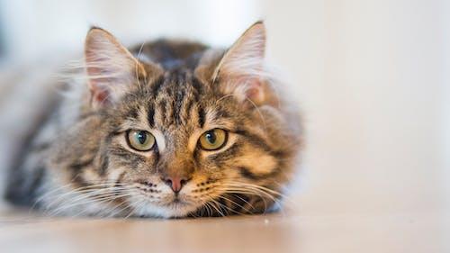 Darmowe zdjęcie z galerii z futrzany, koci, kot, makro