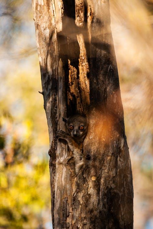 Kostnadsfri bild av lemur, madagaskar, natur