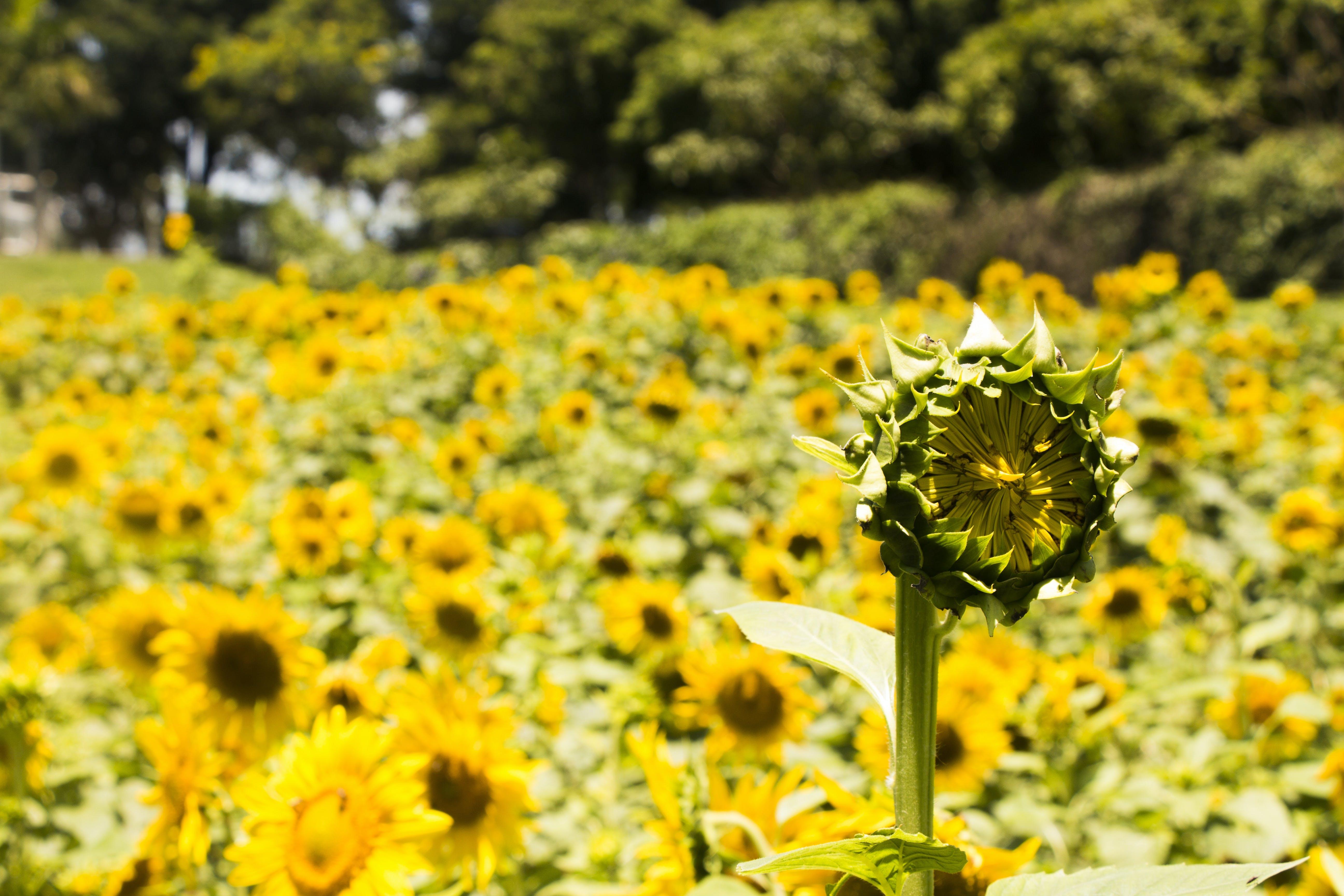 Free stock photo of field, sun, garden, flower