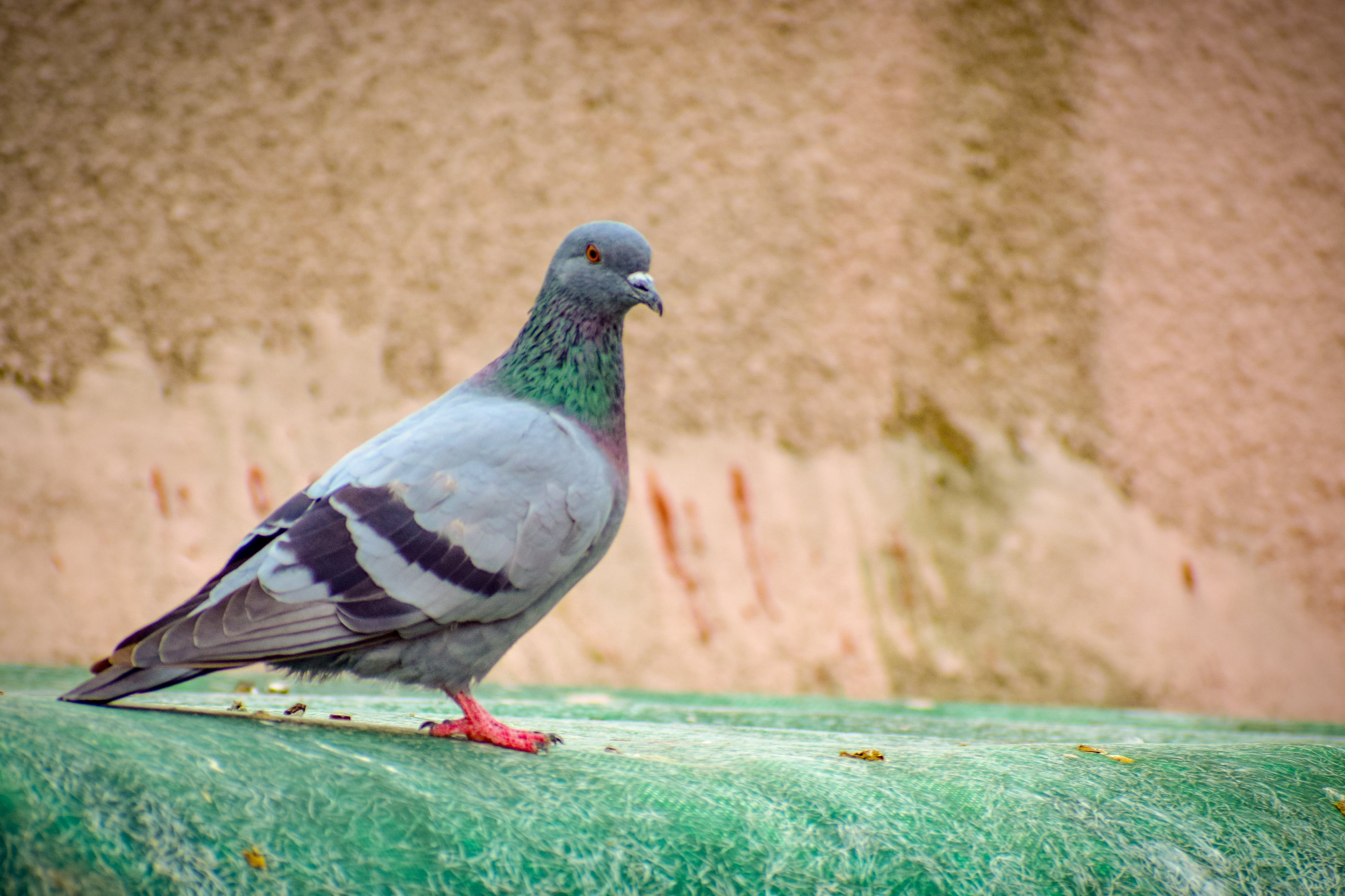 Free stock photo of nature life, nature photography, pigeon