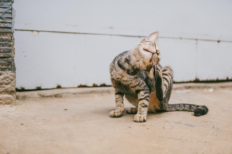 Brown Tabby Cat Scratching Head