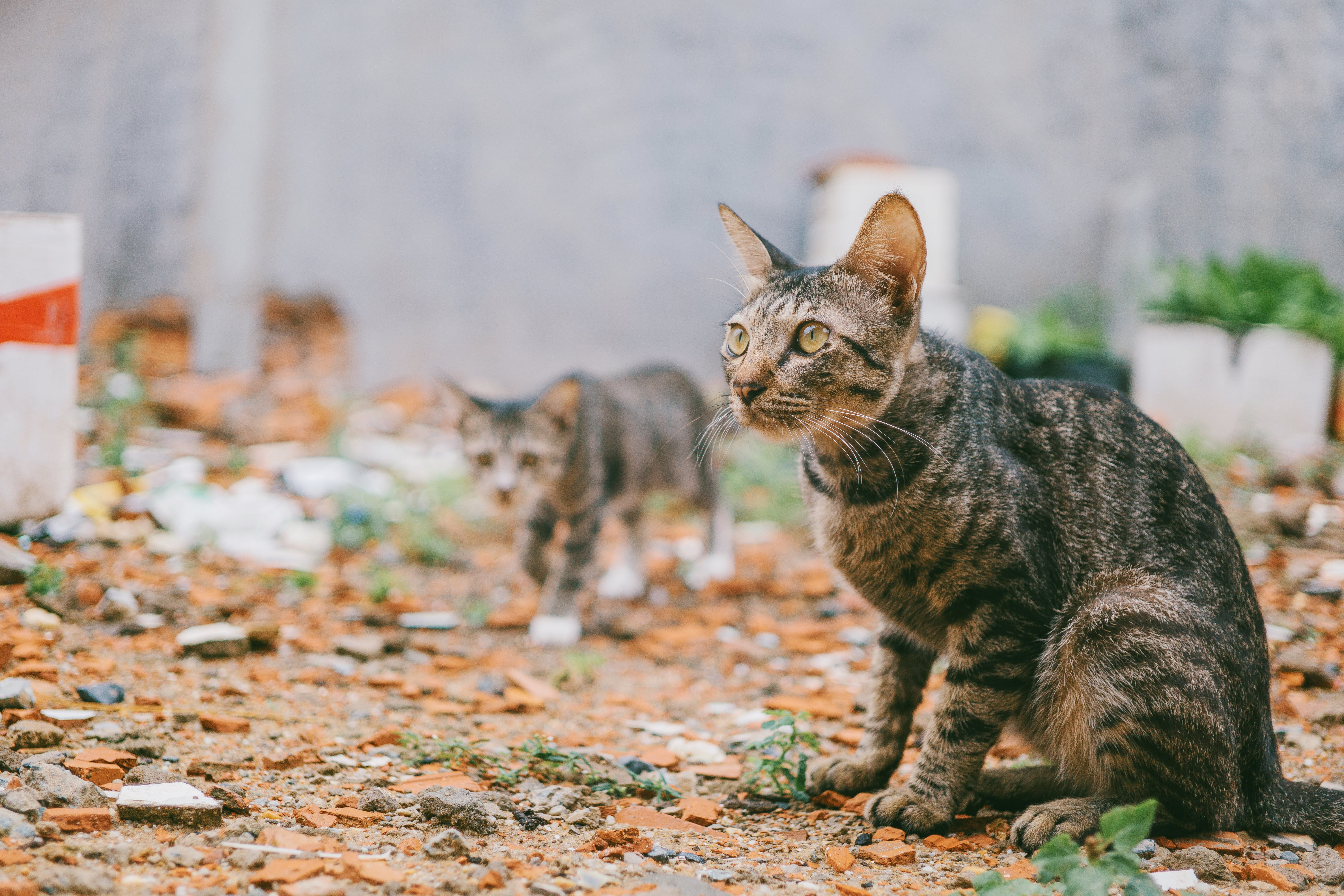 Two Gray Tabby Cats Outdoor